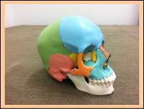 【頭痛の原因】・・・頭蓋骨、福岡市中央区の六本松整体
